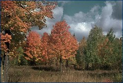 A Wisconsin forest. (Source: <a  data-cke-saved-href='http://www.ucmp.berkeley.edu/index.php' href='http://www.ucmp.berkeley.edu/index.php' class='external text' title='http://www.ucmp.berkeley.edu/index.php' rel='nofollow'>University of California Museum of Paleontology</a>)
