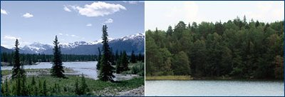 From left: taiga in Jasper National Park, Alberta, Canada; forest west of Stockholm, Sweden. (Source: <a  data-cke-saved-href='http://www.ucmp.berkeley.edu/index.php' href='http://www.ucmp.berkeley.edu/index.php' class='external text' title='http://www.ucmp.berkeley.edu/index.php' rel='nofollow'>University of California Museum of Paleontology</a>)
