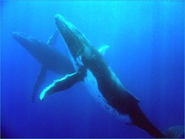 Two humpback whales, which can be found in the Great Barrier Reef. Source: National Marine Sanctuaries