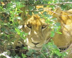 Figure 1. An African lion in Queen Elizabeth National Park. Such animals are hunted because of their meat and also for religious reasons. (Source: Photograph by Magelah Peter G. © 2007)