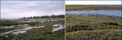 From left: tundra near Churchill, Manitoba, Canada; tundra in the Arctic National Wildlife Refuge, Alaska. (Source: <a  data-cke-saved-href='http://www.ucmp.berkeley.edu/' href='http://www.ucmp.berkeley.edu/' class='external text' title='http://www.ucmp.berkeley.edu/' rel='nofollow'>University of California Museum of Paleontology</a>)