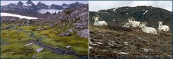 From left: alpine tundra in Mt. Rainier National Park, Washington; Dall Sheep in the Arctic National Wildlife Refuge, Alaska. (Source: <a  data-cke-saved-href='http://www.ucmp.berkeley.edu/' href='http://www.ucmp.berkeley.edu/' _fcksavedurl='http://www.ucmp.berkeley.edu/' class='external text' title='http://www.ucmp.berkeley.edu/' rel='nofollow'>University of California Museum of Paleontology</a>)