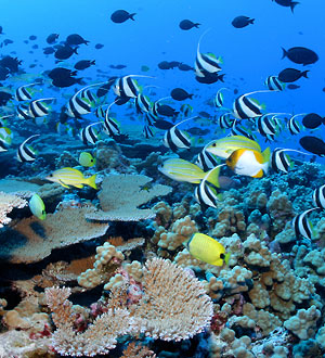 Reef fishes and corals at French Frigate Shoals, Northwest Hawaiian Islands. Corals reefs are the most diverse marine ecoystems. Photo by James Watt.