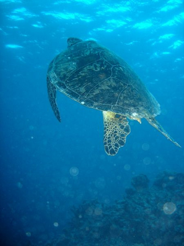 Green turtle (Chelonia mydas) in the Great Barrier Reef<br>Source: Annemarie Kohl & Nicolai Schafer