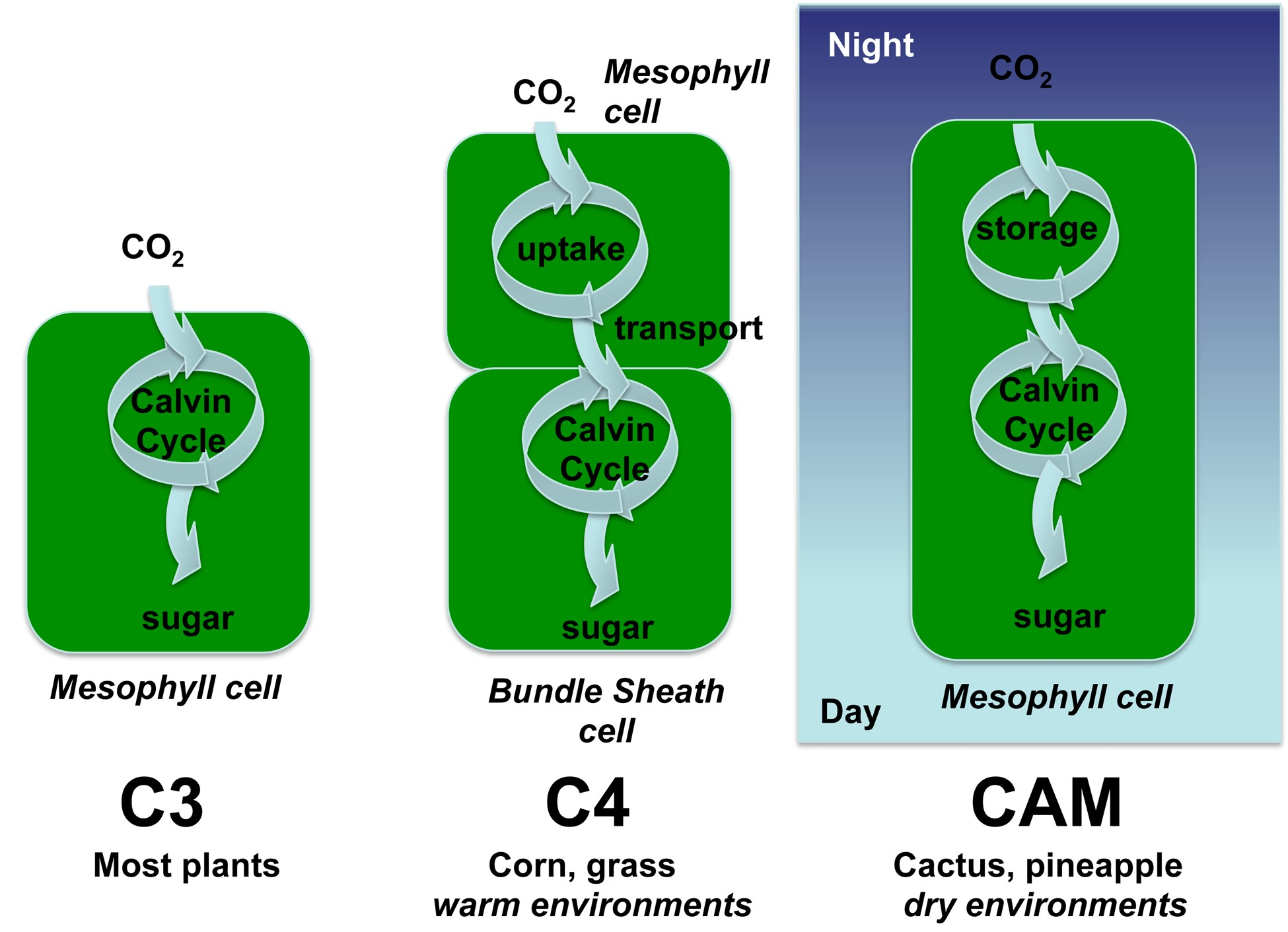 photosynthesis vs solar cells In particular, the photosynthetic chemicals used by the e coli in the solar cell  work just as well in low light as in bright, direct sunlight, meaning.